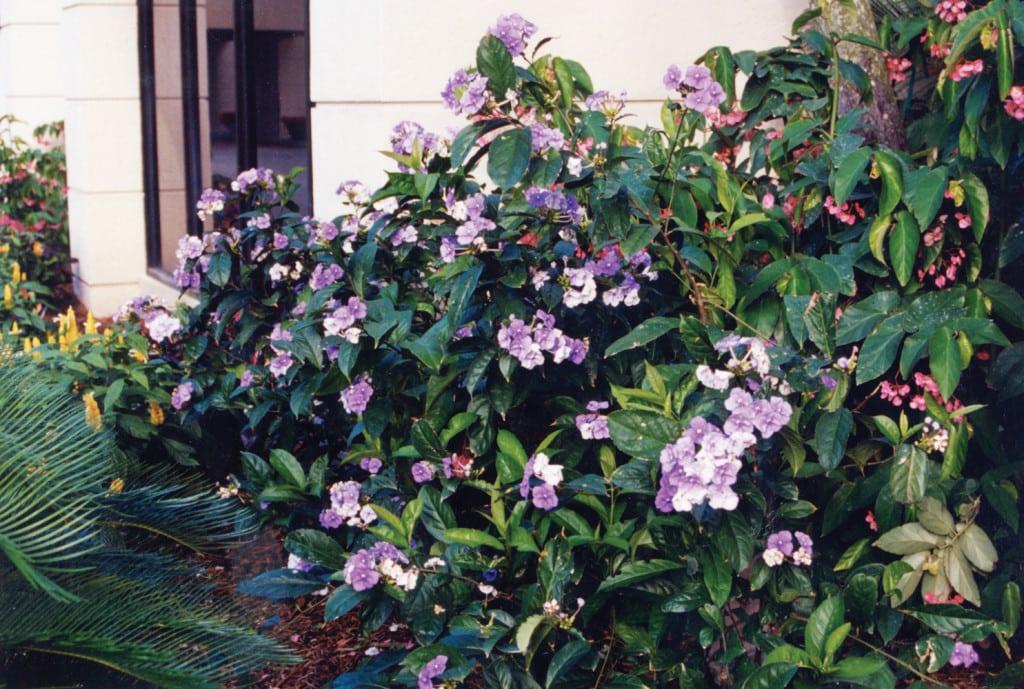 Brunfelsia-w-boca-raton-landscape-pamela-crawford