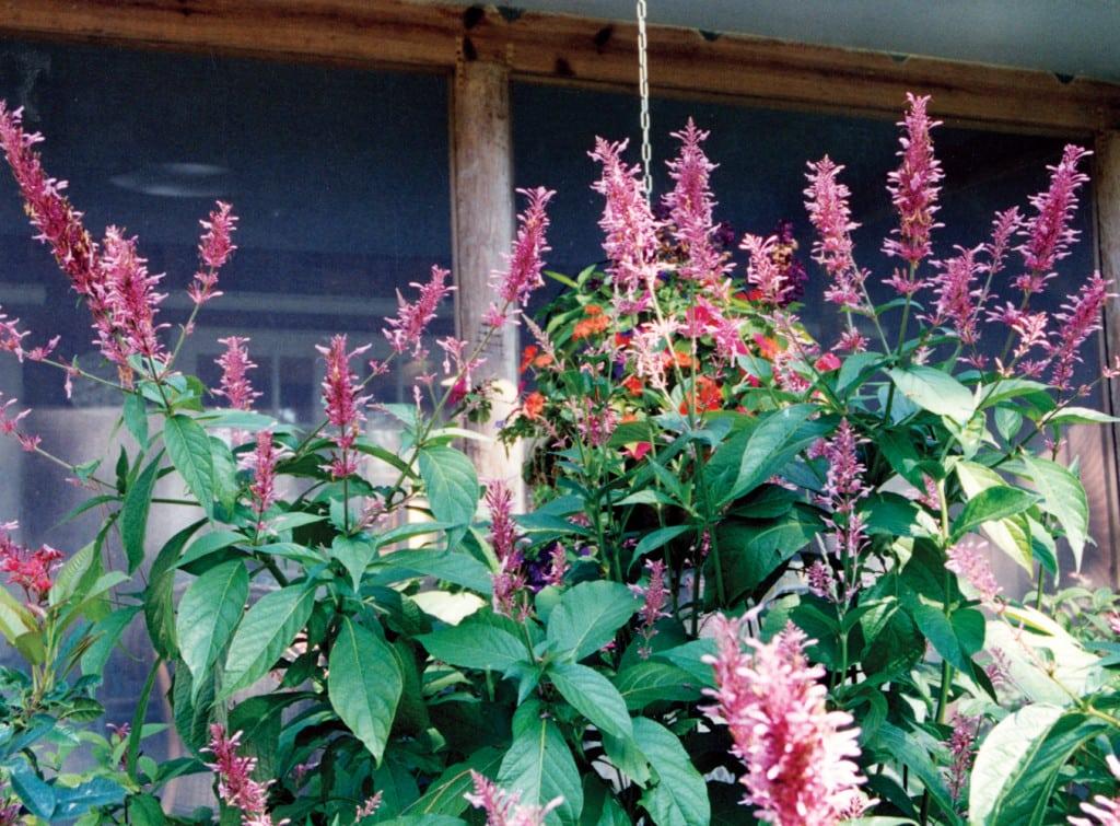 Firespike,pink-cu-pamela-crawford (2)