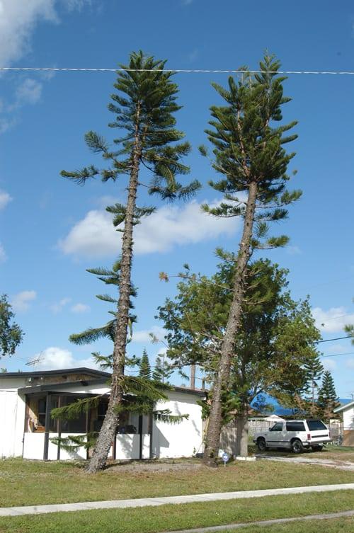Trees were left standing 15 orange trees have a medium wind